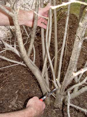 Some branches of this multi-stemmed dwarf lilac need to be thinned to improve air flow and eliminate rubbing stems.