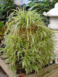 ... Indoor Choices For Low Light: Spider Plant