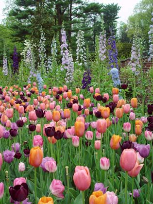 field of tulips and delphiniums
