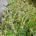 purple cudweed
