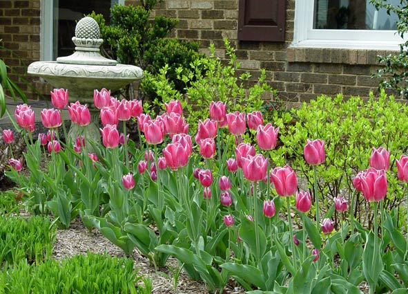 Tulips And Other Bulbs Look Their Best When Med Replace Bulb Groupings With Annual Flowers In Summer