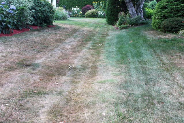 Cool-season lawns often go dormant and turn brown to survive summer dryness.