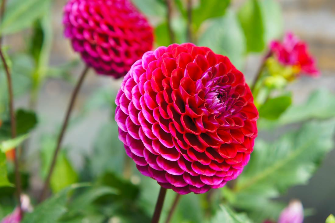 Dahlias can range from the size of a quarter to the size of a dinner plate.