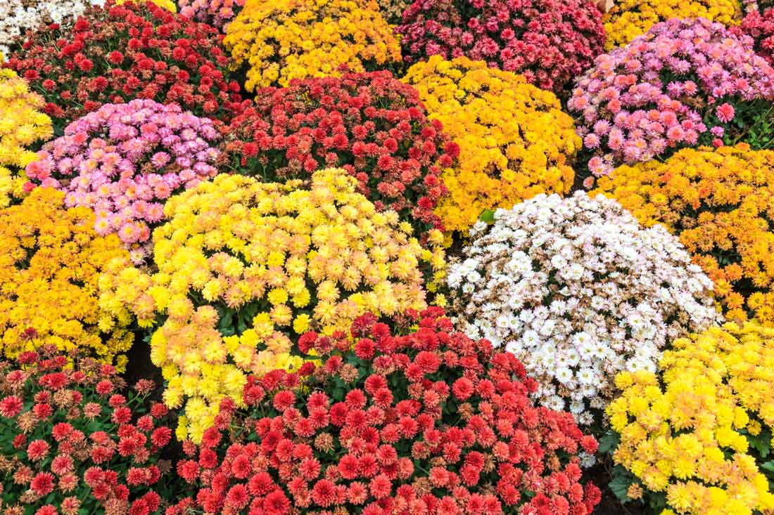 Mums are a fall flower favorite and grow in a variety of colors.