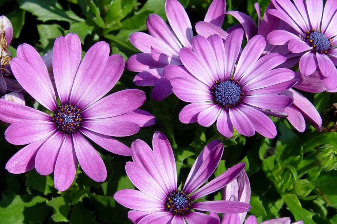 Osteospermum Tradewinds Purple Bicolor.