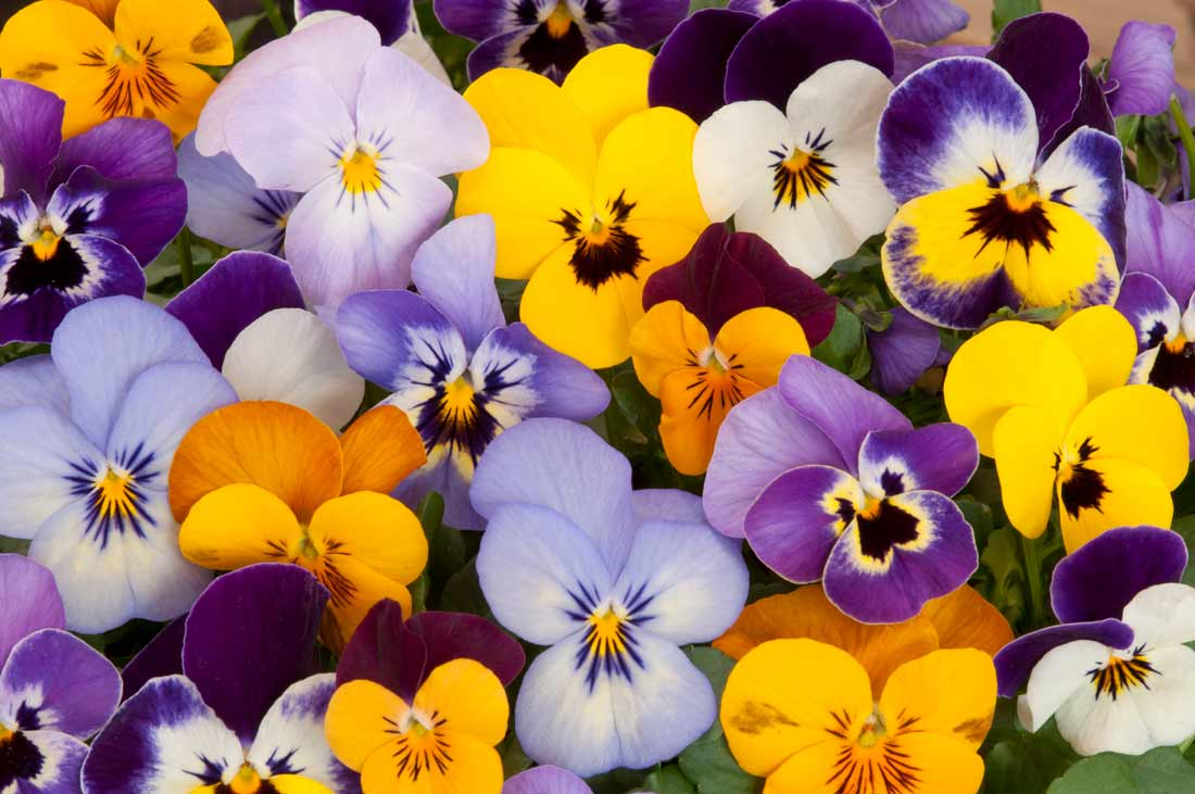 Pansies can come in multiple shades and colors.