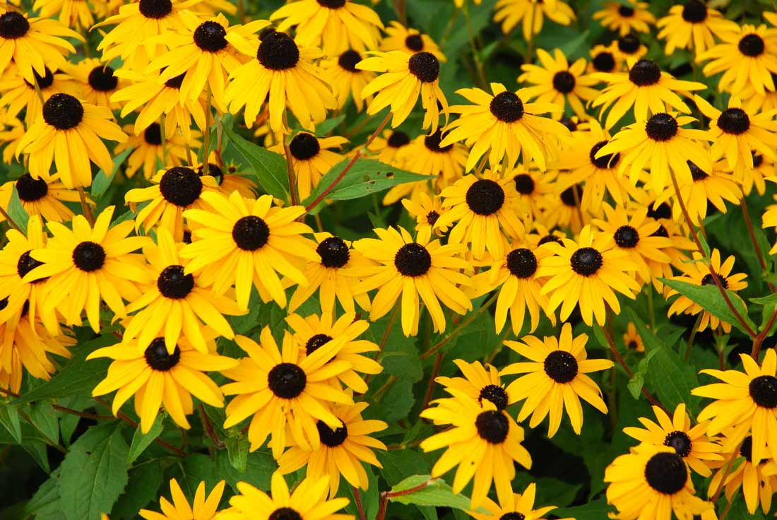 Rudbeckia, also known as black-eyed susan, is another fall favorite.