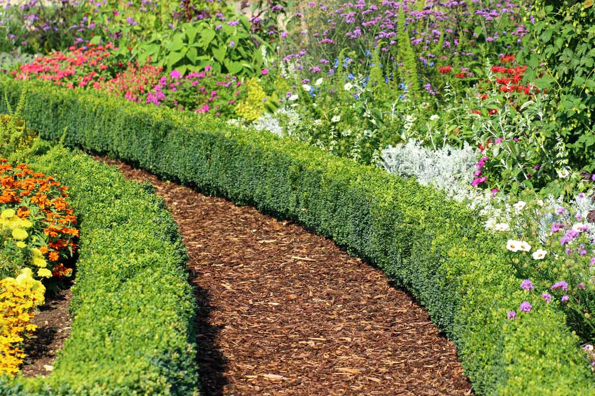 Boxwoods forming a perennial border hedge