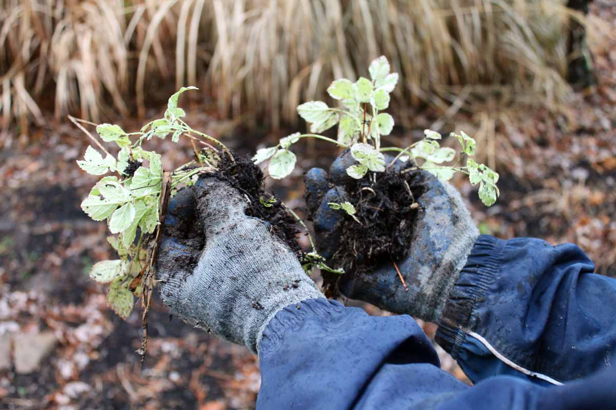 Pulling appart roots to divide a perennial plant
