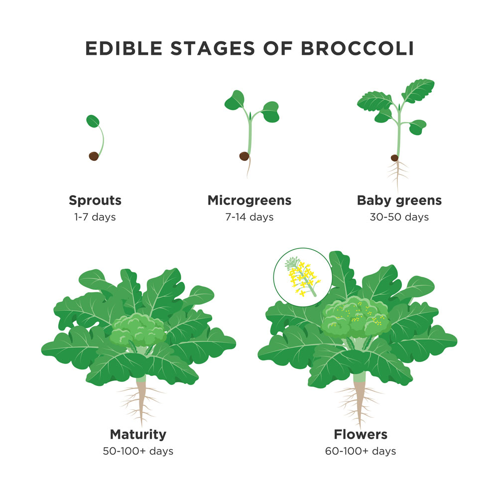 Microgreens in the lifecycle of broccoli