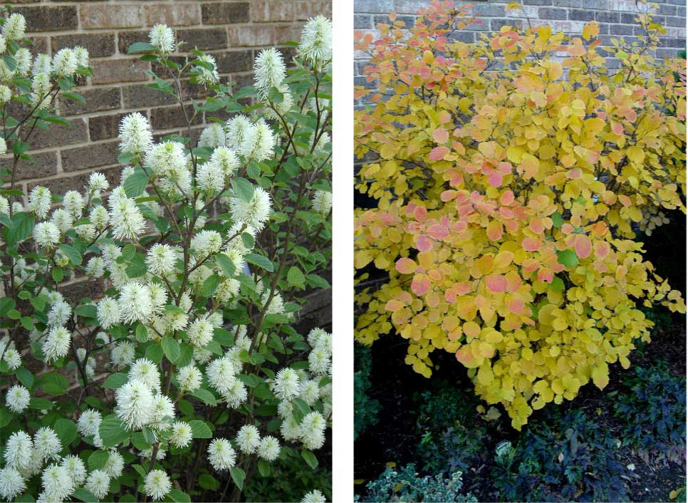 Fothergilla in summer and fall