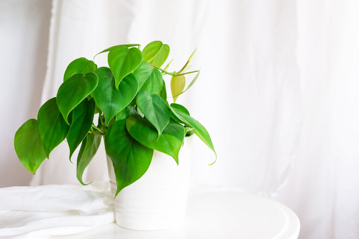 Heart-leaf Philodendron