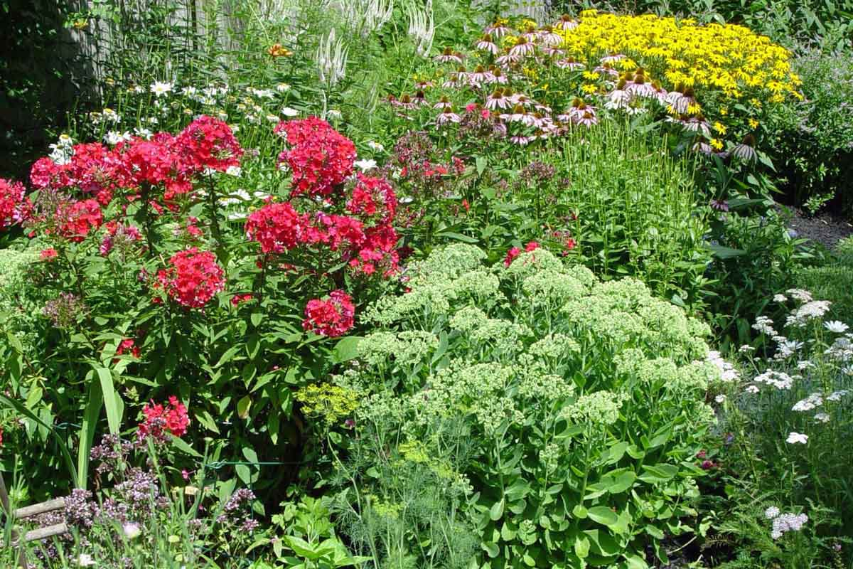 Heat-tough perennial garden  with red phlox, black-eyed susans, and coneflowers