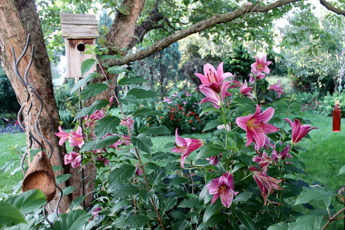 Shaded pink oriental lilies