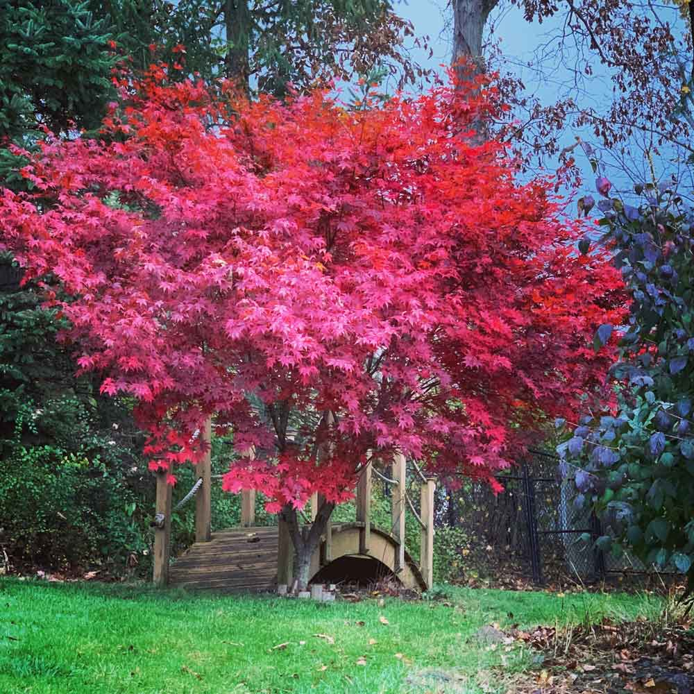 Japanese maples are known for their vibrant, red leaves