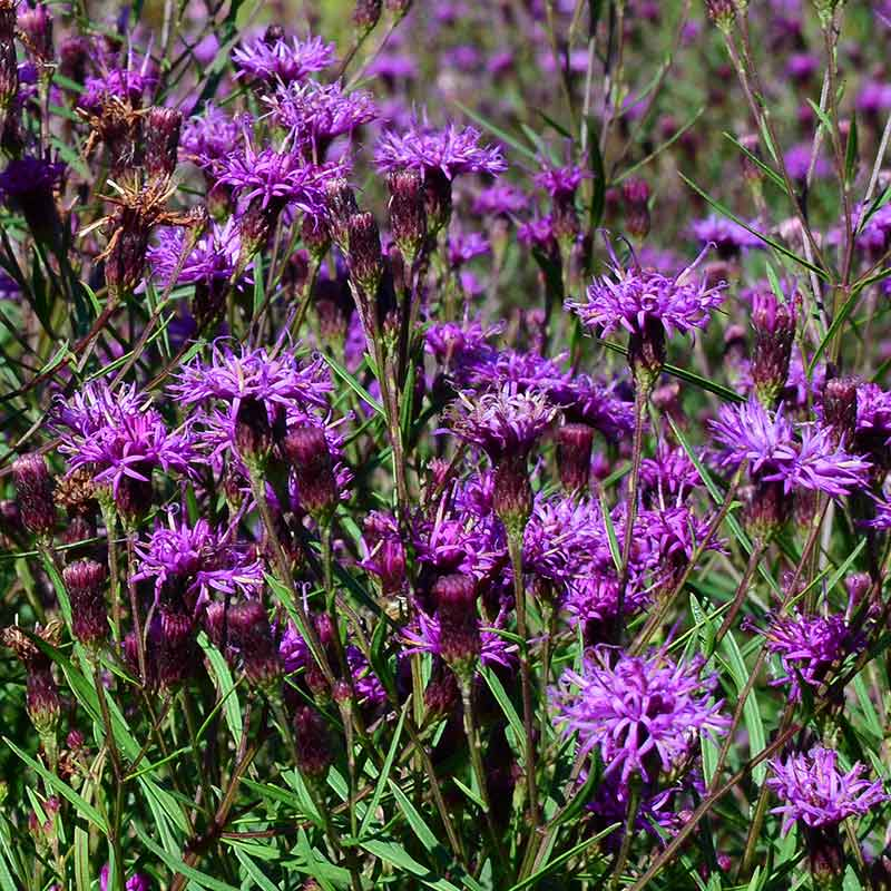 'Summer's Swan Song' is a new variety of Ironweed