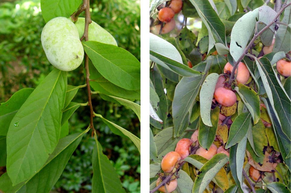 Pawpaws, left, and American persimmons, right