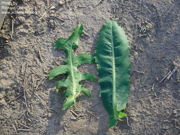 Prickly Lettuce on Small J