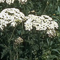 yarrow (common)